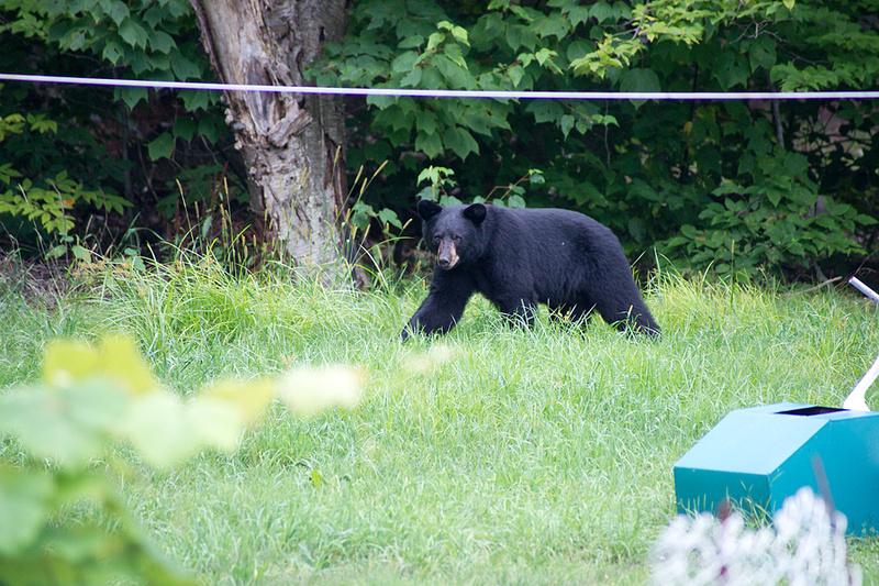 Bear_Aug242014_8498