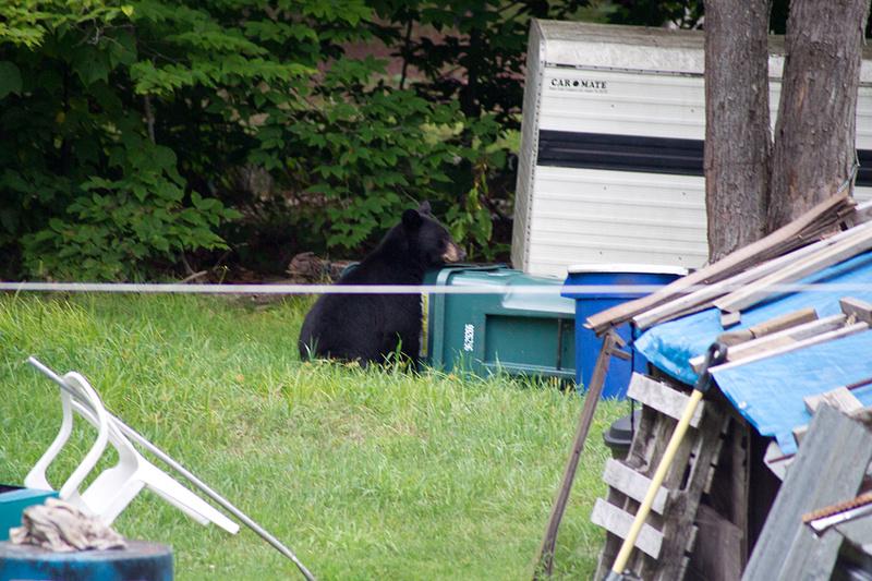Bear_Aug242014_8492