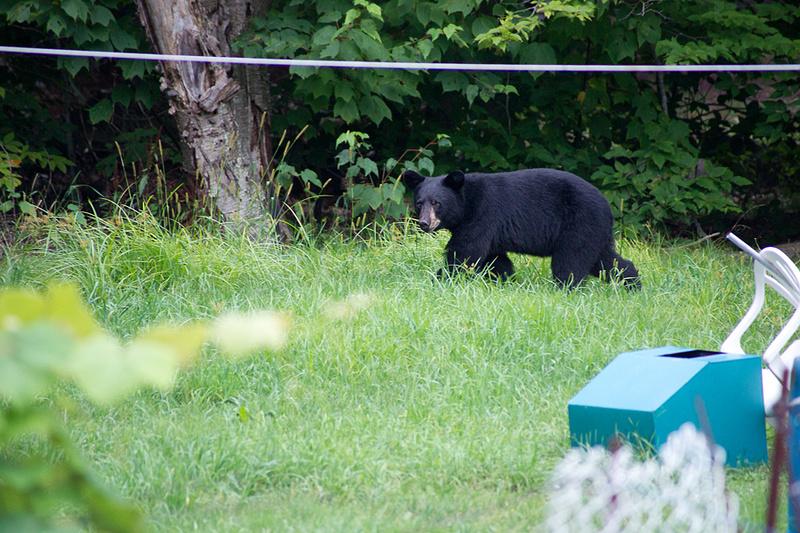 Bear_Aug242014_8496